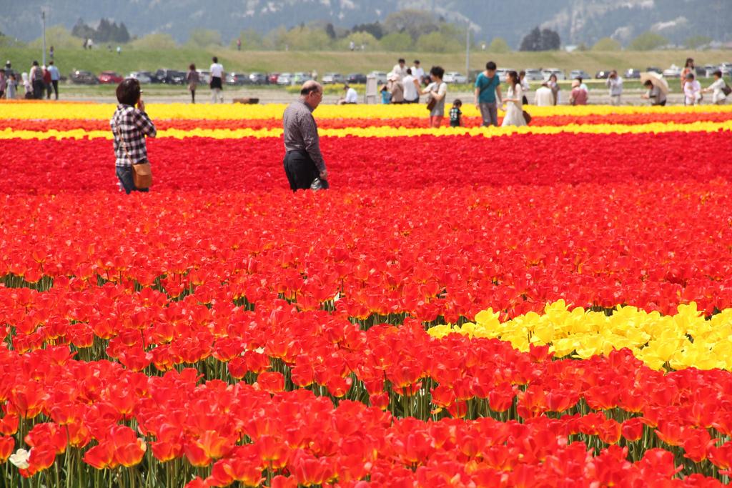 Gosen Tulip Festival 20120429