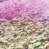 Green and Red Leaves #niigata #shibata