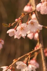 Sakura in Junsai Ike Park, Niigata