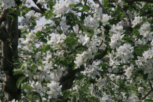 Apple Flower, Hirosaki, Aomori, Japan