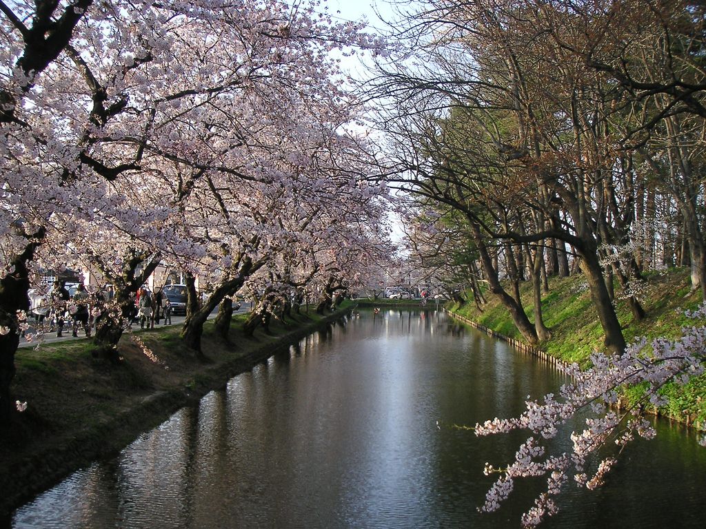 Sakura flowering tunnel